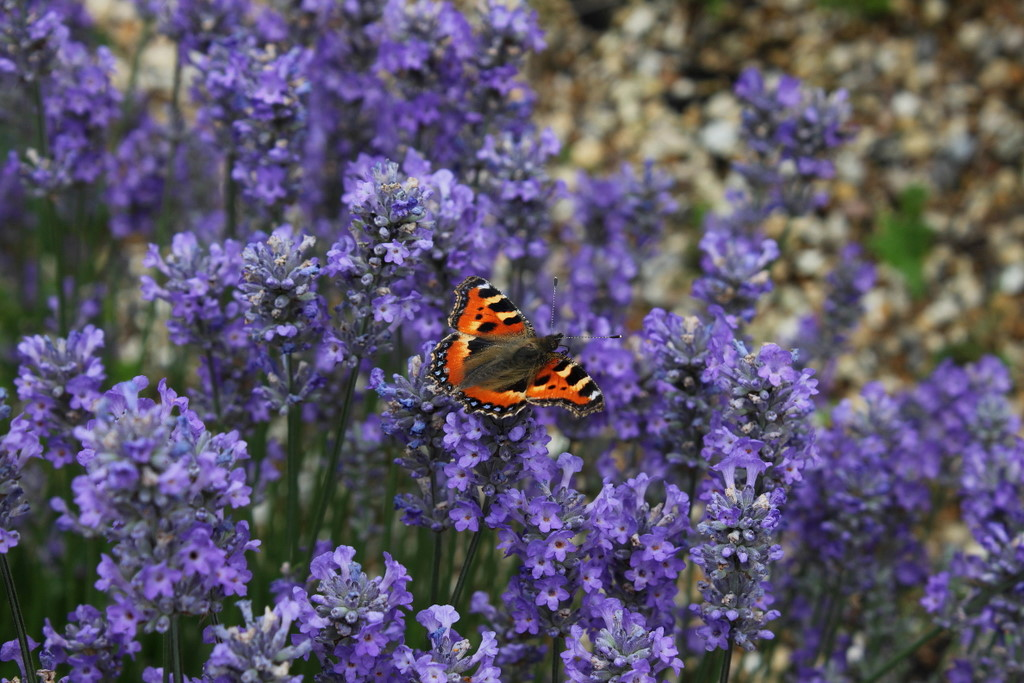 Small Tortoiseshell on Little Lady Lavender