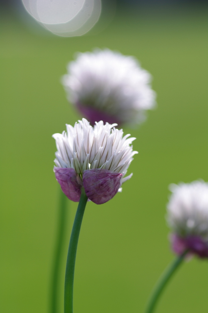 Allium 'Black Isle Blush'