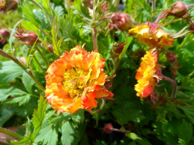 Geum 'Can-Can', a D.K. Plants introduction.