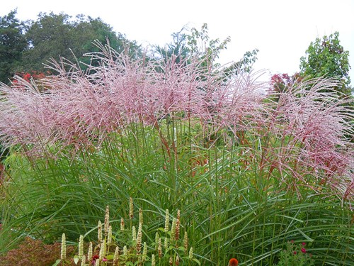 Ornamental grasses rare plant fair flower spikes and rotsilber with deeper red pink flowers these selections make tall plants at between 18 and 2m but there are shorter cultivars mightylinksfo Gallery