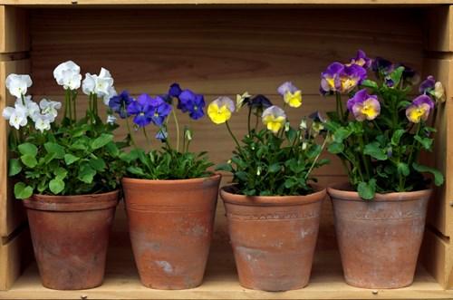 The Wonderful World Of Perennial Violas Rare Plant Fair