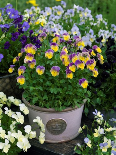The wonderful world of perennial violas rare plant fair there can be few plants that can match the length of the flowering season of violas many of the viola hybrids start flowering in april may for the mightylinksfo