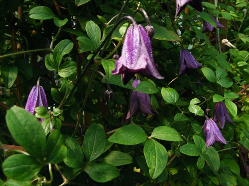 clematis viticella rare plant fair. Black Bedroom Furniture Sets. Home Design Ideas