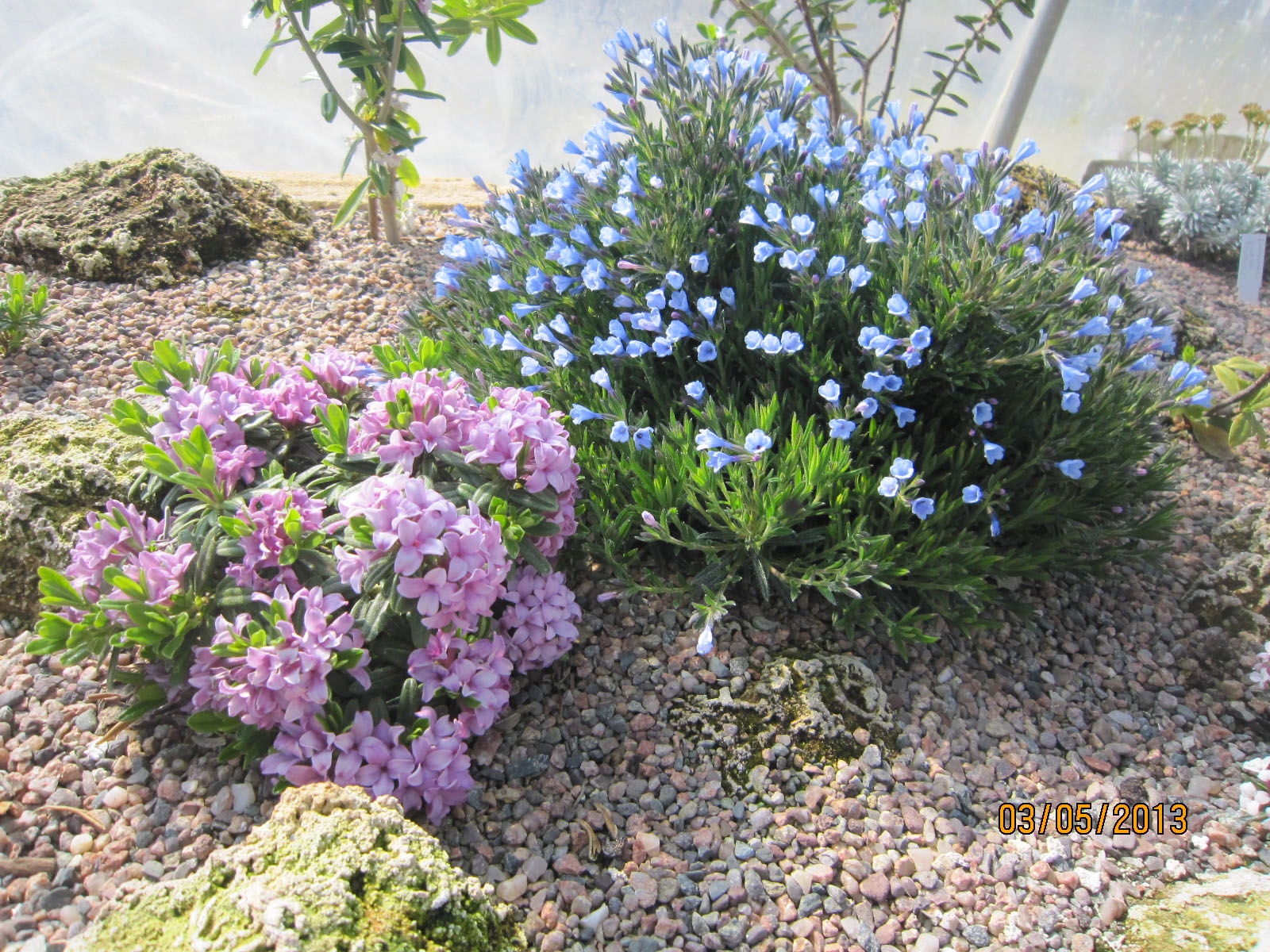 Daphne x susannae 'Cheriton' (left), Lithodora zahnii 'Azure Ness' (right)
