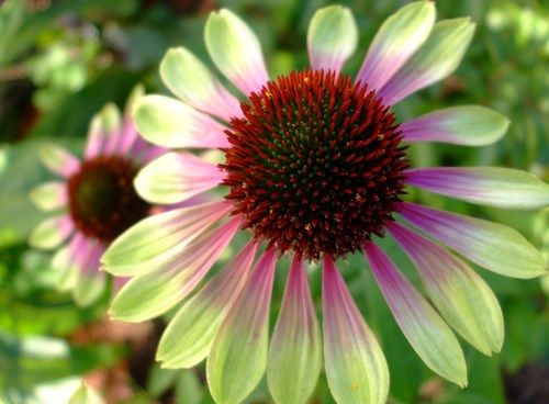 exciting echinacea rare plant fair. Black Bedroom Furniture Sets. Home Design Ideas