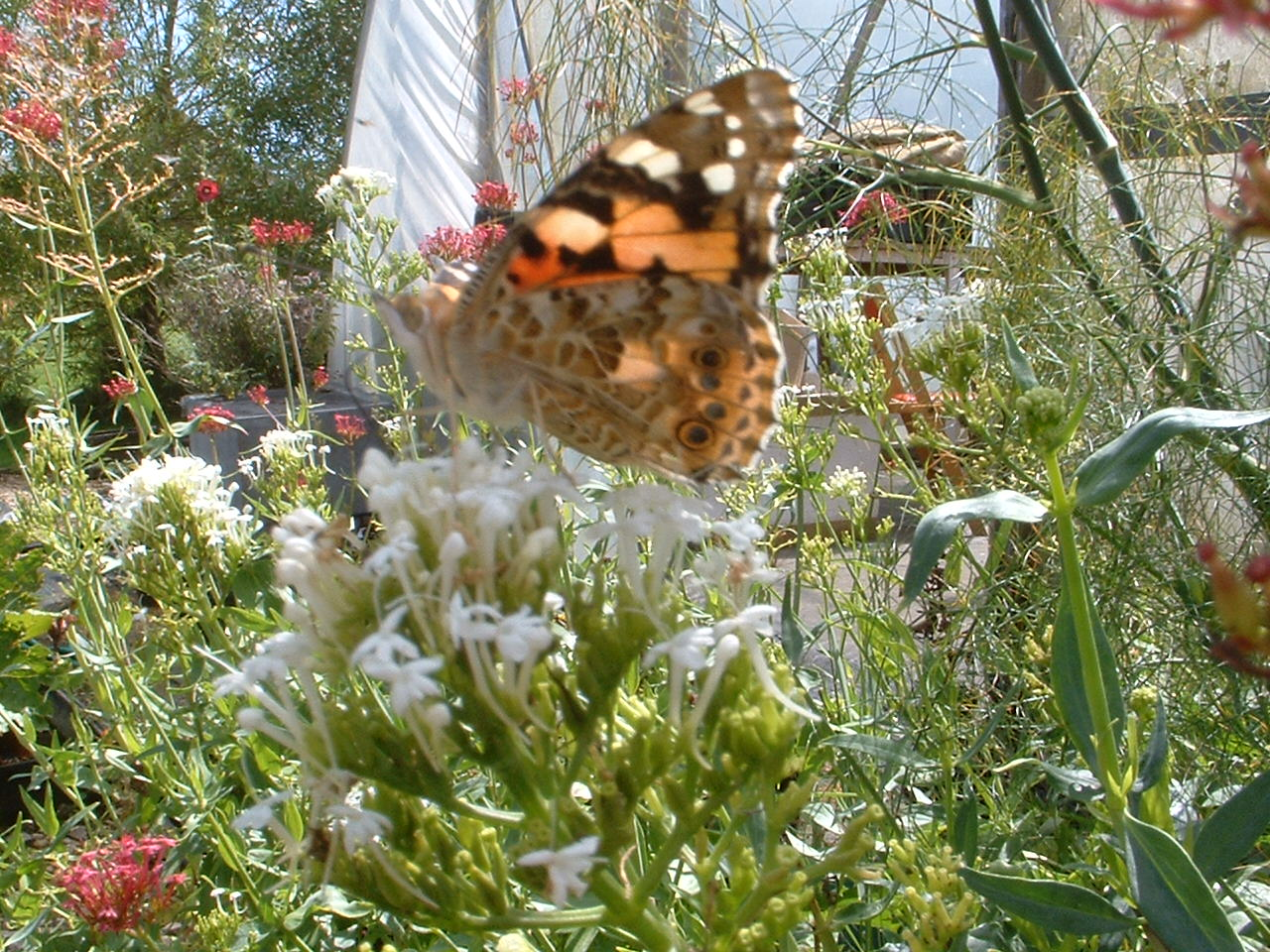 Painted Lady on Centranthus ruber 'Snowcloud'