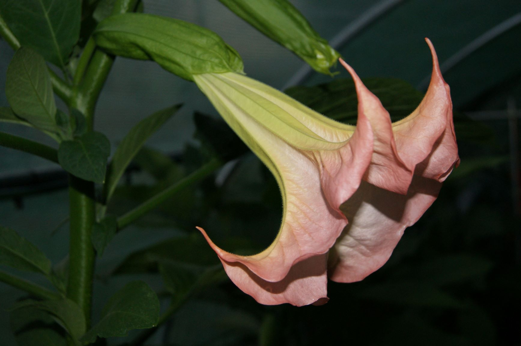 Brugmansia 'Frosty Pink'