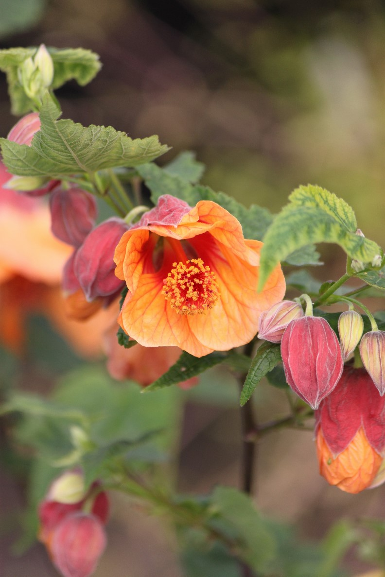 Abutilon 'Linda Vista Peach'