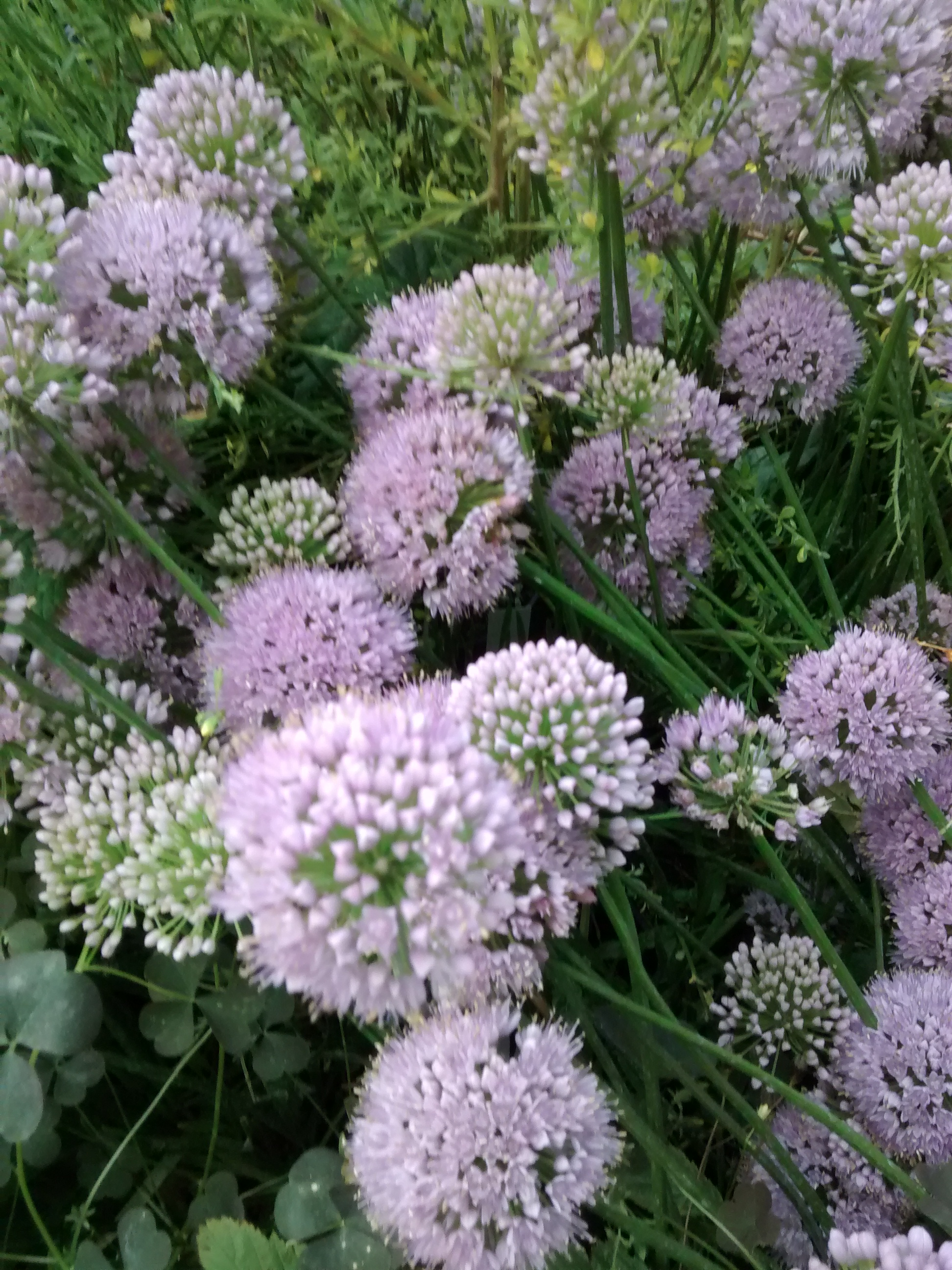 Allium 'In Orbit'