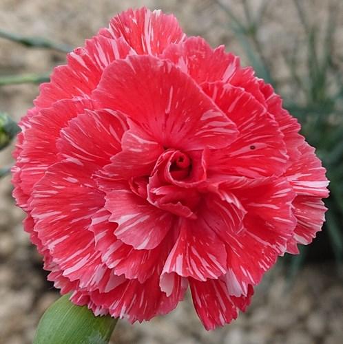 from Named Cultivars 40 Seeds 2020 Border Auricula